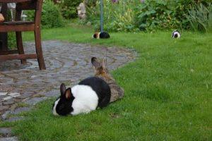kaninchen meerschweinchen