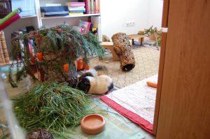 meerschweinchen weihnachten