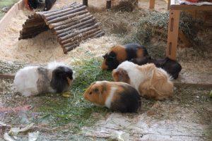meerschweinchengruppe