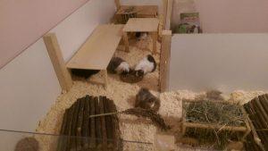 gehege-meerschweinchen4