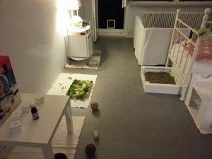 meerschweinchen-freie-wohnungshaltung