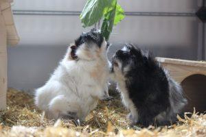meerschweinchen-locken